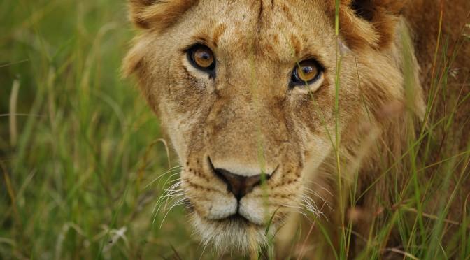 Mann kuschelt mit Löwen